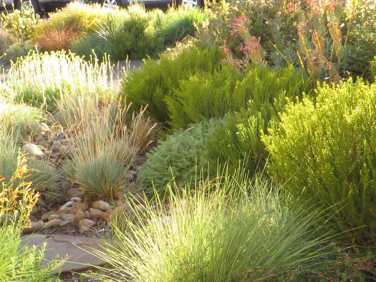 A nursery owner 39 s garden xera plants for Plants for outdoor garden
