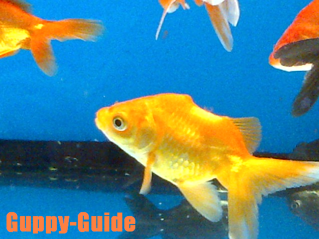Guppy fish walmart guppy guide a new fish at walmart for Walmart freshwater fish