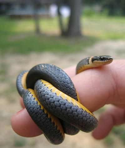 Mơ thấy bắt được con rắn bị thương ở rốn?