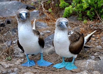 http://blog.galapagosecolodge.net/2012/07/espanola-island-punta-suarez_21.html