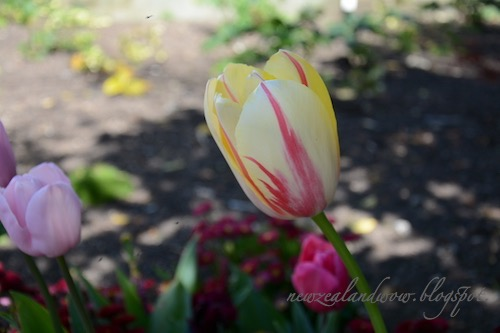 Beauty Tulip