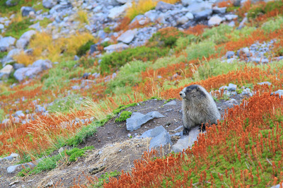 A Marmot near High Camp