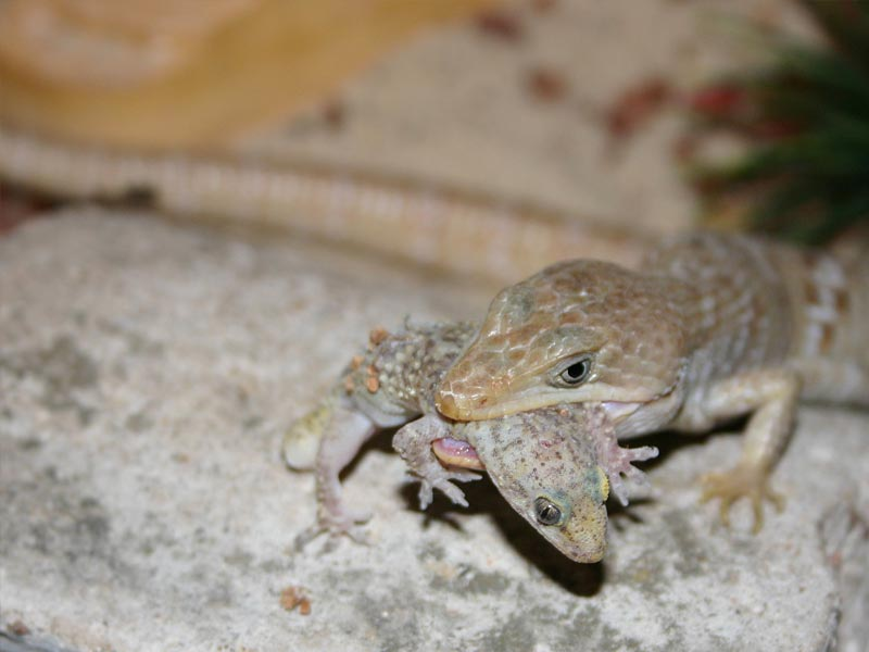 Alligator lizard diet