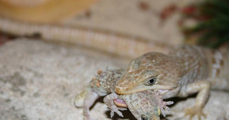 how to take care of a backyard lizard