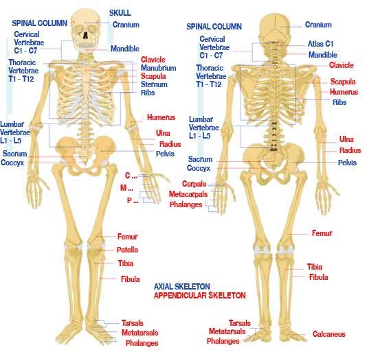 Human Anatomy Skeletal System Diagram