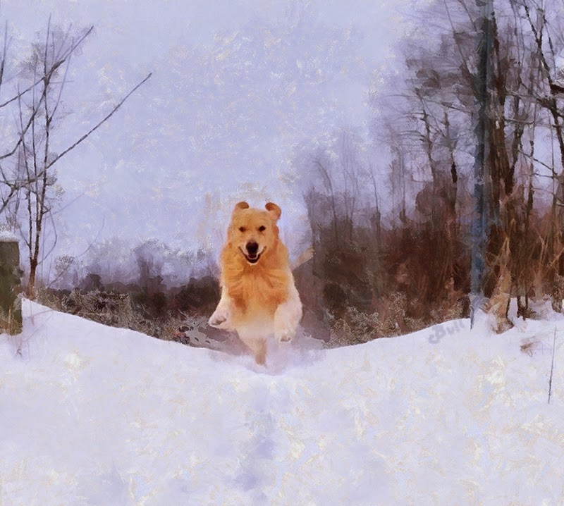Golden Retriever flying through the snow by Claire Bull