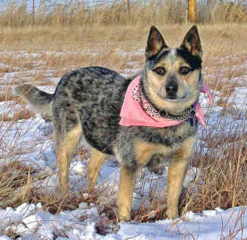 Top 10 Worlds Smartest Dog Breeds australian cattle dog