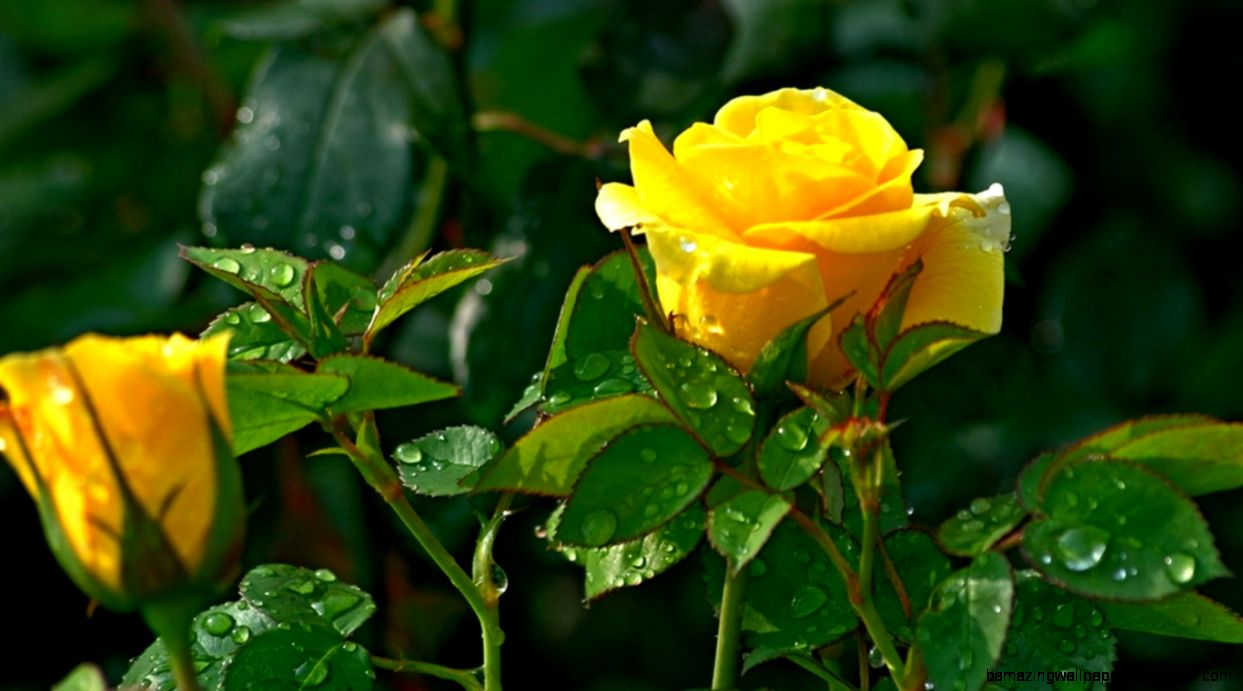 Yellow Rose Flowers Images