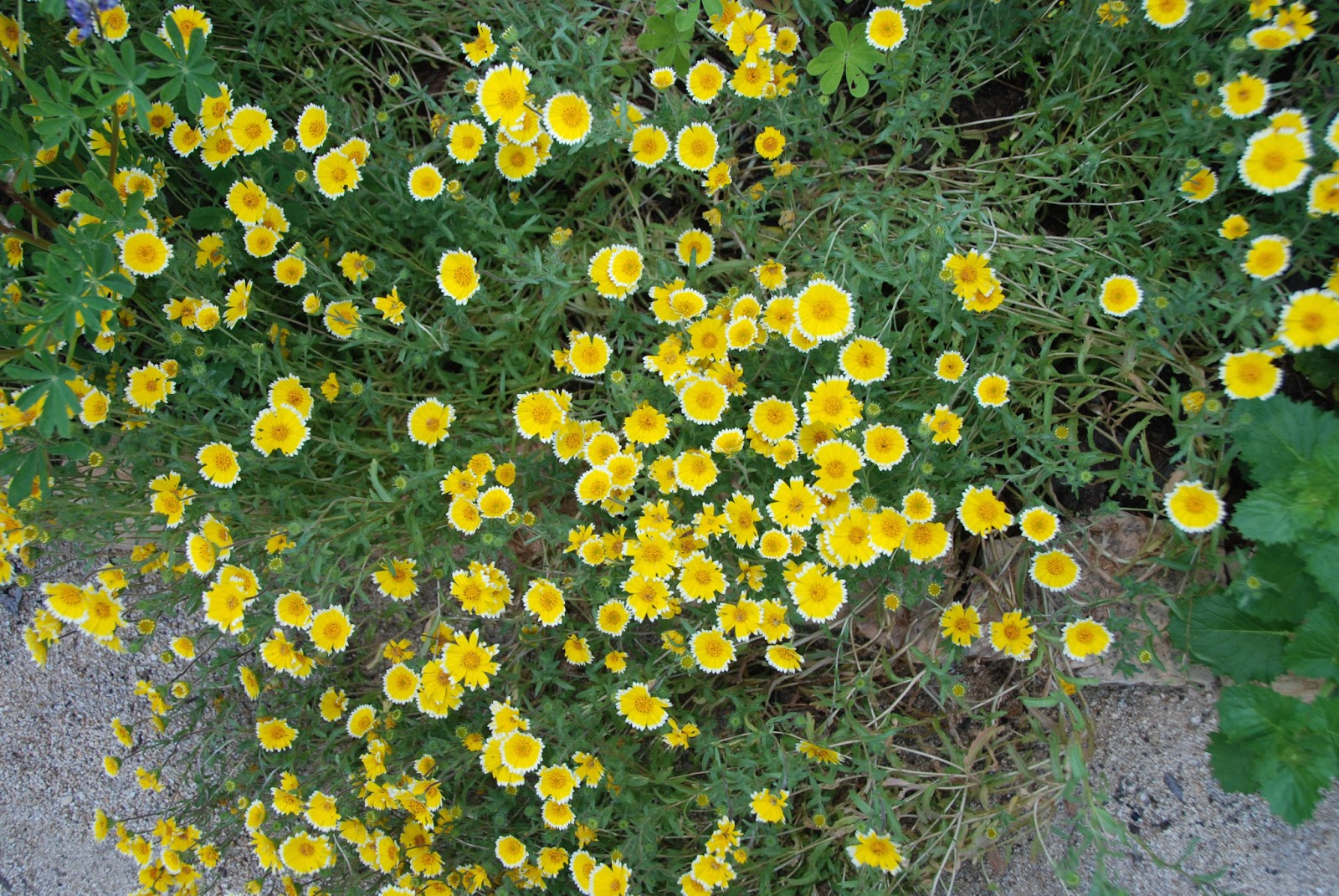 a california native plant garden in san diego county april 2013