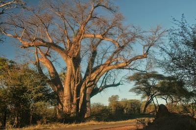 Victoria Falls Big Tree, 2011