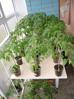 Рассада помидоров готова к высадке