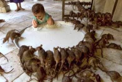 Mis gatitos roedores el h mster - Como alejar las ratas de la casa ...