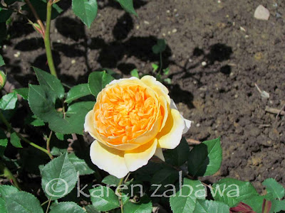 Crown Princess Margareta yellow rose fully opened shows its cabbage style flowers.