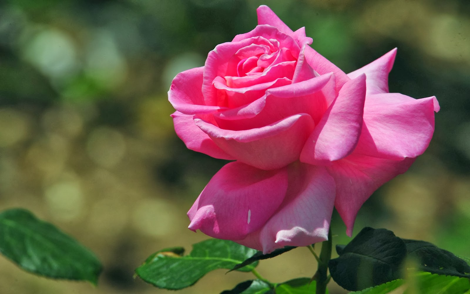 beautiful pink rose flower hd wallpapers