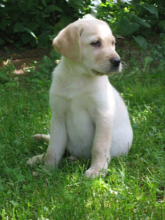 Labrador Retriever Puppy Pictures