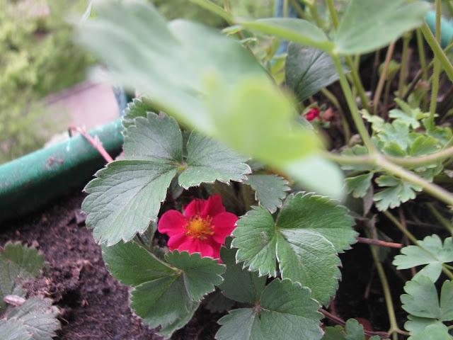 różowa truskawka