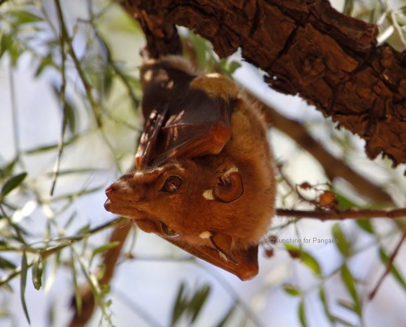 Ethiopian Epauletted Fruit Bat (Epomophorus labiatus) in Ethiopia