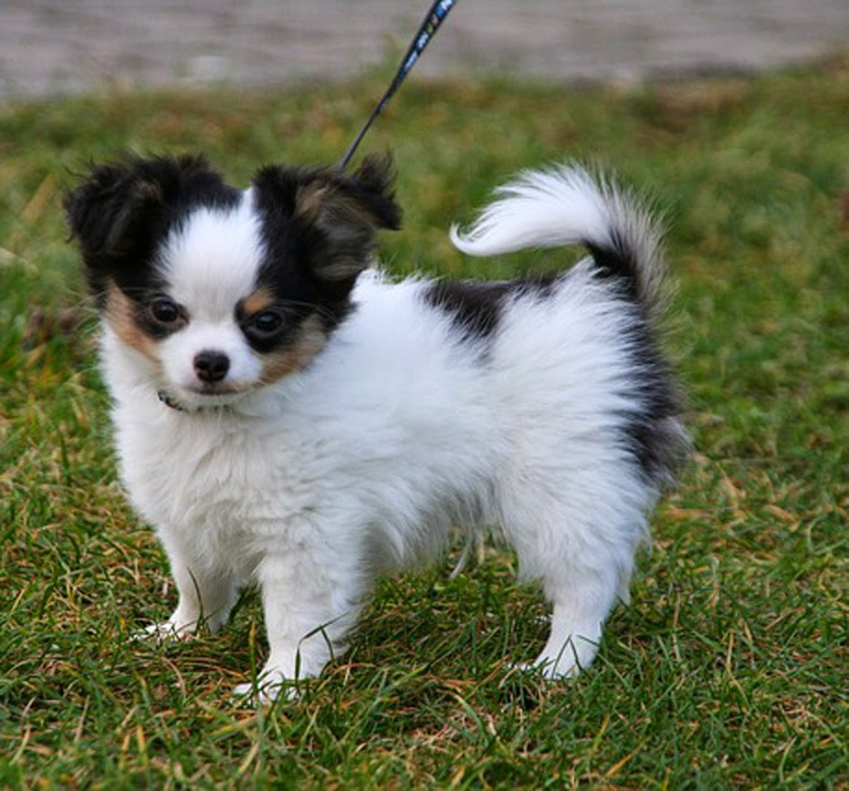 different breeds of dogs chihuahua puppies puppy chihuahua cute
