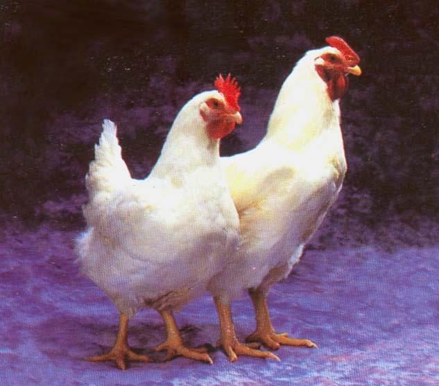 gambar ayam gambar hewan