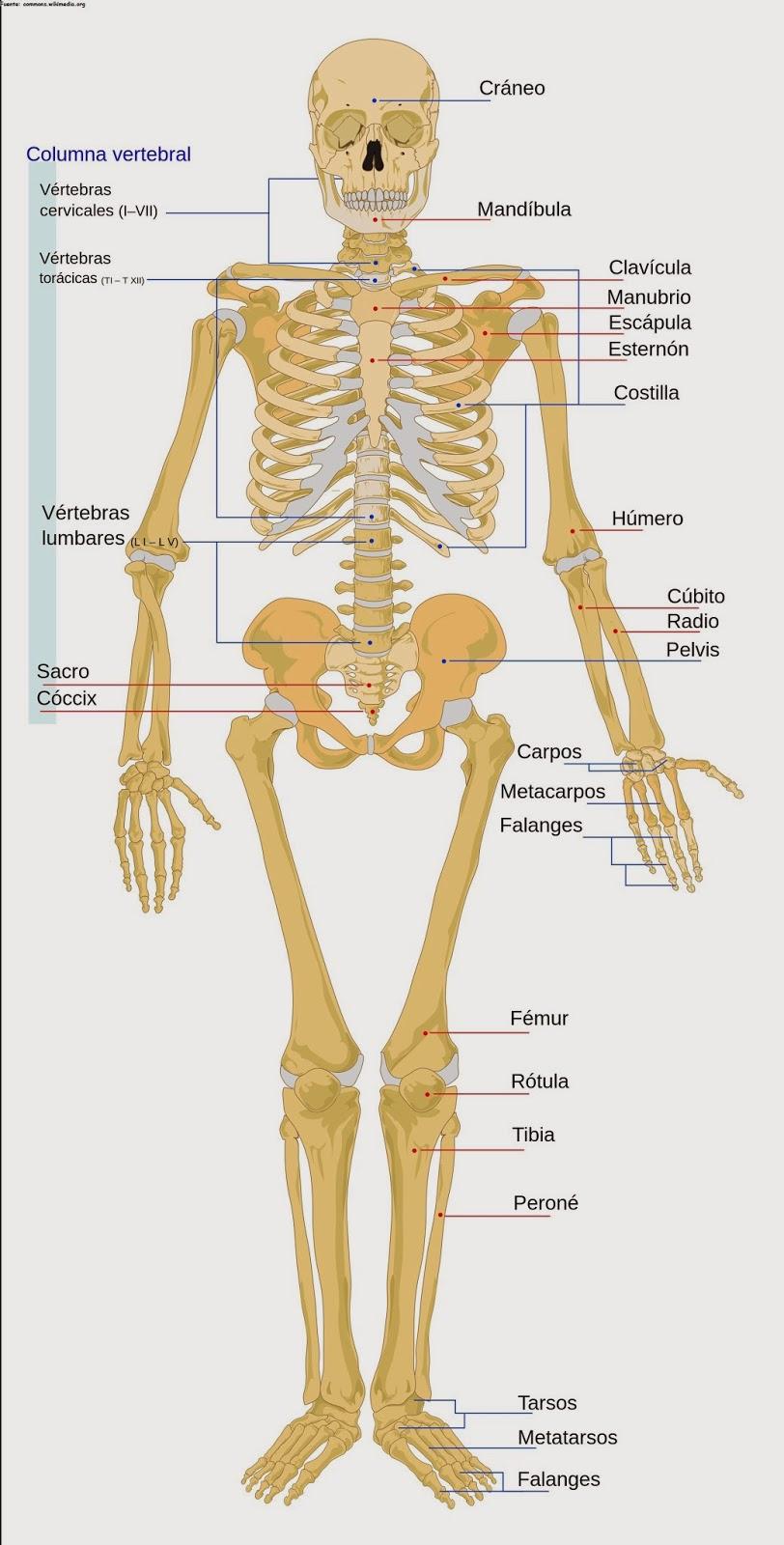 Bonito Definición Anatomía Sistémica Imagen - Anatomía y Fisiología ...