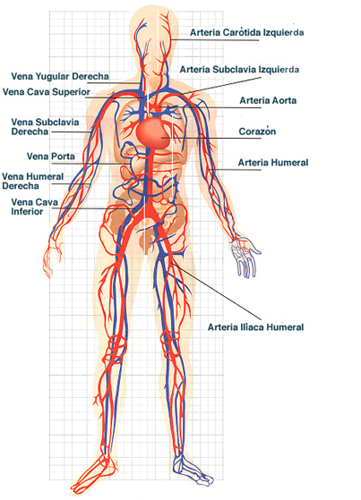 Aparato circulatorio para dibujar - Imagui