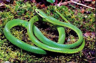 Boomlang snake