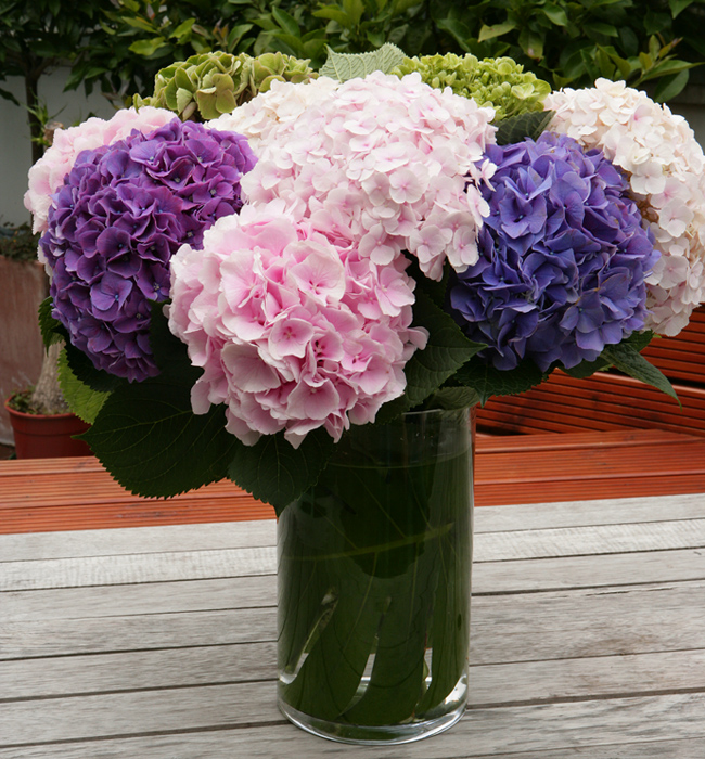 Hydrangea Arrangements: HYDRANGEA - Popular Ornamental Plants