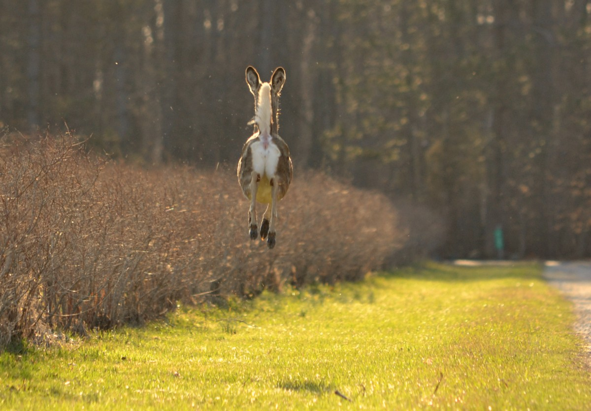 Woods Walks and Wildlife: Airborn Deer