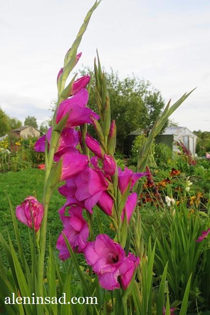 гладиолус,  пересортица, розовый гладиолус, аленин сад, в августе
