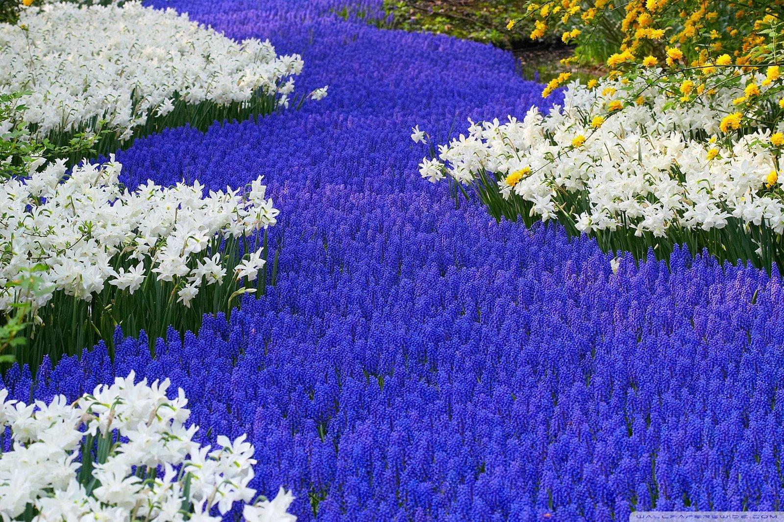 http://3.bp.blogspot.com/-IFs2boyQpEc/TsP66jMHckI/AAAAAAAAEL4/phOXNBp80o8/s1600/grape_hyacinths_and_daffodils_keukenhof_gardens_lisse_holland-wallpaper-2000x1333.jpg