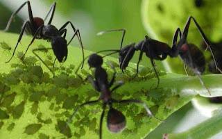 Hormigas comiendo pequeños insectos