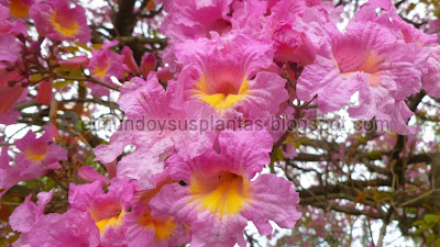 Flores de Lapacho