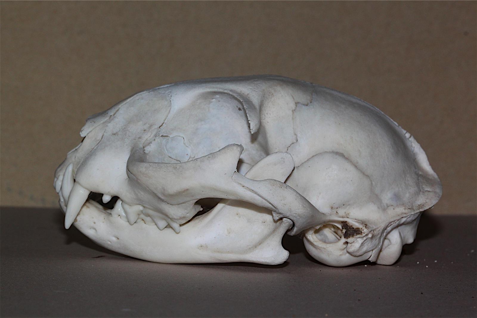 Domestic Cat Skull Front