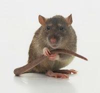 http://asalasah.blogspot.com/2012/10/postingan-membahas-semua-hal-tentang-tikus.html