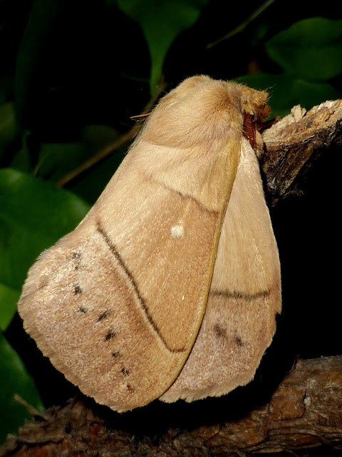 Philotherma rosa male