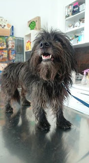 Βρέθηκε πριν μια βδομάδα στη Χρυσουπολη στο Περιστέρι αρσενικό σκυλάκι μεγάλης ηλικίας