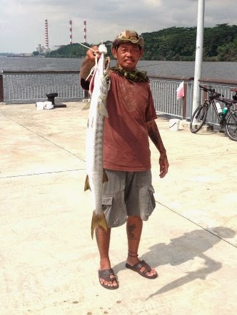 Yellowtail Barracuda [Sphyraena Flavicauda] also know as Saw Kun 沙君 [Hokkien] or Ikan Kacang [malay] weighing 3kg plus caught by Ah Siong at Woodland Jetty on 14th May 2014 using live Five-spot Herring or Assam fish (local), Selangat (malay) on float.