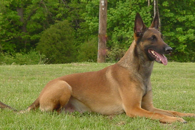 Belgian Shepherd Malinois Pictures and Reviews | Dog breeds and ... German Shepherd Dog Reviews