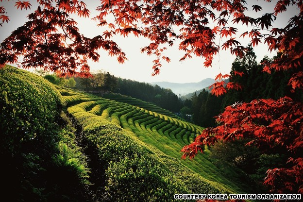 Boseong Green Tea Field (보성 녹차밭)