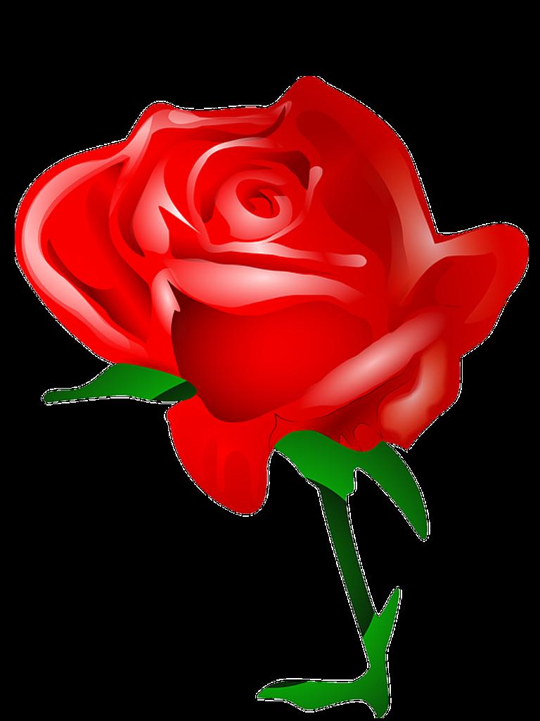 Rosa Vermelha Em Png Quero Imagem