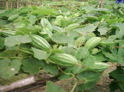 Palta pata Bhaja Parwal leaves fry