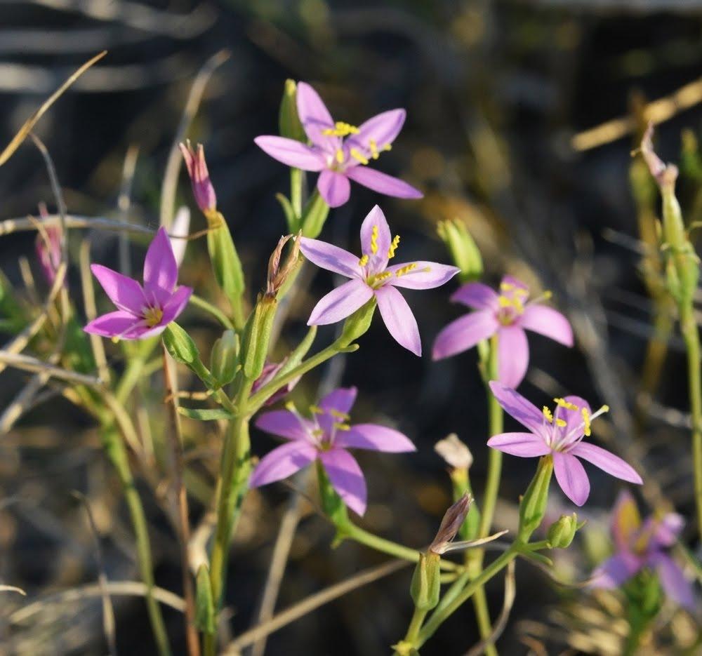 Zeltnera namophila_5068