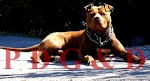 APBT MACHO - RED LEGEND