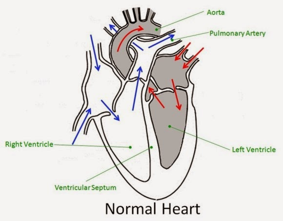basic diagram of the heart – lickclick, Muscles