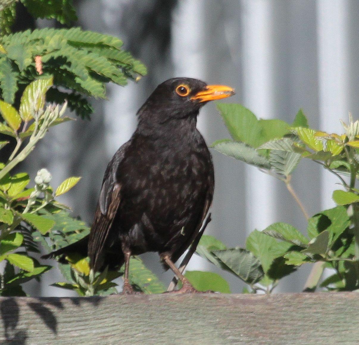 Australian Backyard Birds Birds In My Backyard On Pinterest Wren Magpie And