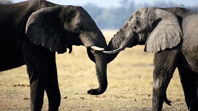 Two elephants playing with their trunks HD Wallpaper