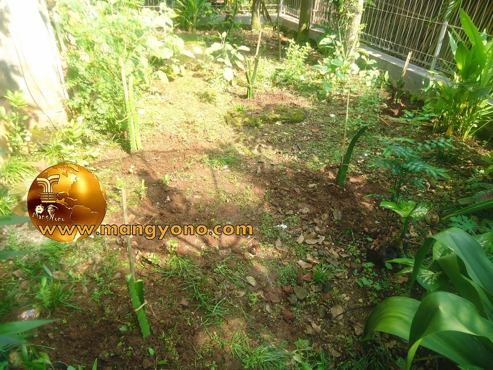 FOTO 4 : Tanaman pohon naga di kebun belakang Rumah admin yang selesai ditanam