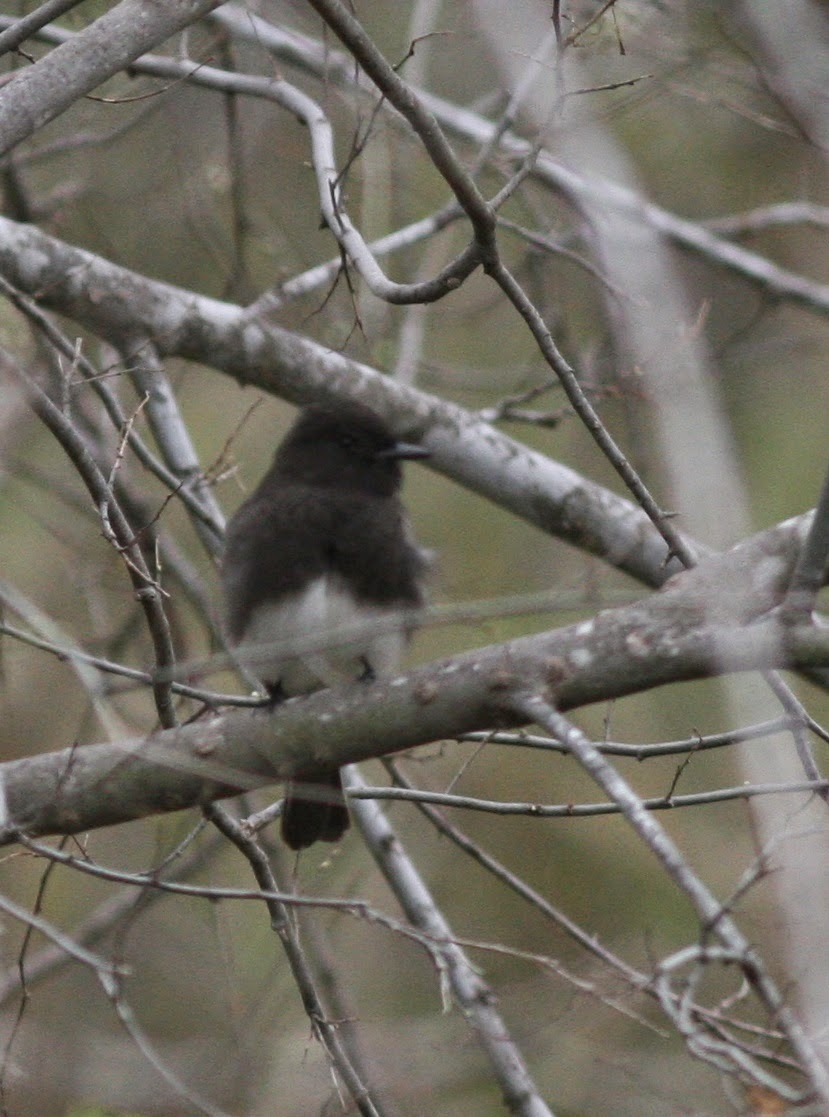 Black Phoebe at North Central Park Laredo