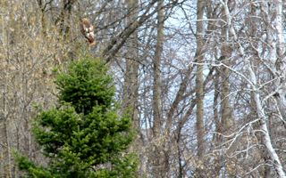 photo of red-tailed hawk in evergreen tree