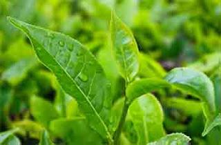 Usos del aceite esencial de árbol de té